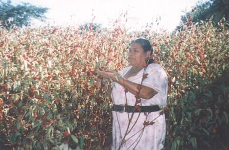 20110104222638-cultivo-de-rosa-de-jamaica.jpg